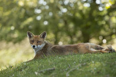Red fox, lying stretched in grass, looking in camera Stock Photography