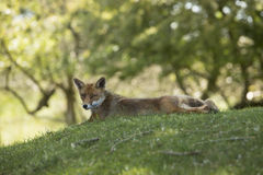 Red fox, lying stretched, looking in camera Stock Photos