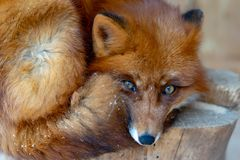 Red fox lying under the tree. Park royalty free stock images