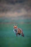 Red fox male on the green grassland Stock Photos