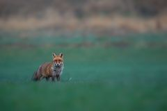 Red fox male on the green grassland Royalty Free Stock Images
