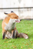 Red Fox Male Snarling Royalty Free Stock Image