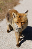 Red fox in Maremma national park, Italy Royalty Free Stock Images