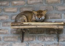 The red fox in the morning light lies in the henhouse. Stock Photo