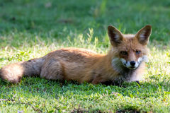 Red Fox Morning 4. Red fox sitting serenely in a green grassy meadow in the morning sun in the morning Stock Photo