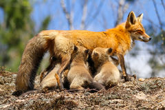 Red Fox Mother Nursing Kits. A red fox mother nurses her six young kits Royalty Free Stock Photo