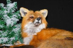 Red Fox. Mount form Canada Stock Photos