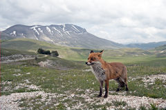 Red Fox in Mountains, Italy Stock Photo