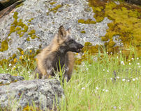 Red fox with mouse in mouth in deep green grass with rocks in sp Royalty Free Stock Image