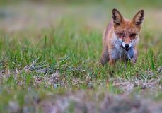 Red fox holds catched mouse in her mouth stock photo