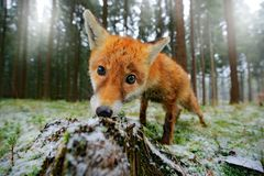 Red fox in the nature forest habitat wide angle lens picture. Animal with tree trunk with first snow. Vulpes vulpes, in green fore royalty free stock photos
