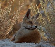 A red fox in the nature royalty free stock images