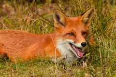 Red fox in nature wildlife