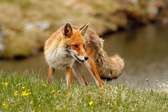 Red fox near a mountain lake Stock Image