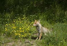 Red fox near the yellow flowers stock photo