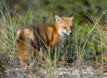 Red Fox. A red fox in New jersey royalty free stock images