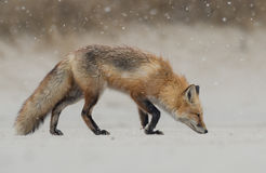 Red Fox. A red fox in New jersey Royalty Free Stock Image