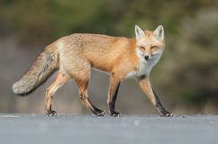 Red Fox. A red fox in New jersey Stock Photography