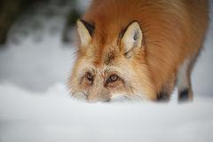 Red fox. A red fox in northern Scandinavia foraging in deep snow Royalty Free Stock Photos