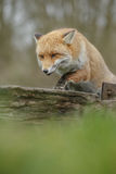 Red fox on an old gate Royalty Free Stock Photos