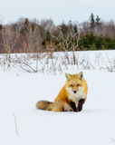 Red Fox out Hunting. Hunting for mice in the deep snow Royalty Free Stock Images