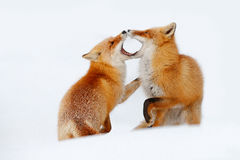 Red fox pair playing in the snow. Funny moment in nature. Winter scene with orange fur wild animal. Red Fox in snow winter, Wildli stock photography