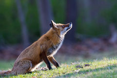 Red Fox. With pale eyes stalking a bird in a grassy meadow staring Royalty Free Stock Photo