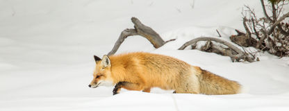 Red Fox. Panoramic Commpostion of Adult Red Fox Trudging Through Deep Snnow Stock Image