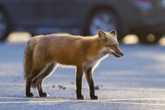 Red fox in parking Royalty Free Stock Photography