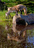 Red Fox pawing a little cub shows water reflections. Royalty Free Stock Images