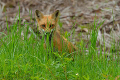 Red Fox. Peeking out from behind the grass. Antigonish County, Nova Scotia, Canada stock photos