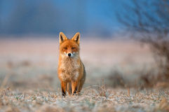 Red fox. Photo of red fox looking at the camera Royalty Free Stock Photo