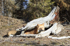 Red fox playing under log Royalty Free Stock Image