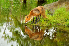 A red fox plays near a clear pond. Royalty Free Stock Photo
