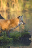 Red fox at pond edge. Red fox staring at prey from the edge of a pond Royalty Free Stock Photo