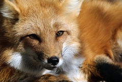 Red Fox Portrait. Close-up portrait of a beautiful wild Red Fox Royalty Free Stock Photography