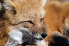 Red Fox Portrait Royalty Free Stock Photography