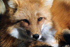 Red Fox Portrait. Close-up portrait of a beautiful wild Red Fox Royalty Free Stock Image