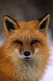 Red Fox Portrait. Close up portrait of a red fox in winter Stock Photos