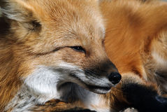 Red Fox Portrait. Close-up portrait of a beautiful wild Red Fox Stock Image