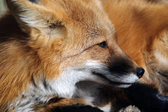 Red Fox Portrait. Close-up portrait of a beautiful wild Red Fox Royalty Free Stock Photo