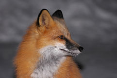 Red Fox Portrait. Beautiful Red Fox sitting in the street on a cold winter night in Northern Ontario Royalty Free Stock Photos