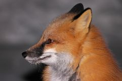 Red Fox Portrait 2. Beautiful Red Fox sitting by the road on a cold winter night in Northern Ontario Stock Photos