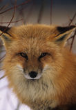 Red Fox Portrait. Close up portrait of ared fox in winter Royalty Free Stock Image