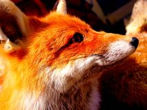 Red Fox Portrait Stock Image