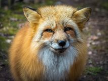 Red fox portrait close up Stock Image
