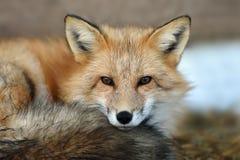 Red fox portrait Stock Photos
