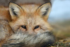 Red fox portrait Stock Photography