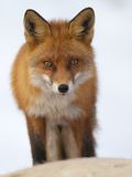 Red fox. Portrait of e red fox in winter Stock Photography