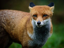 Red Fox. Portrait of a Red Fox in England, UK Royalty Free Stock Photos